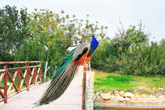 Peacock. Colorful male peacock on the fence Royalty Free Stock Images