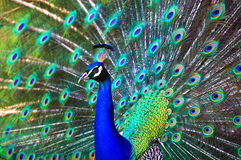 Peacock. Bright colorful peacock with its colorful tail fully opened