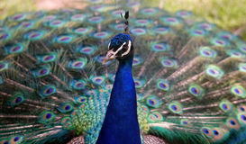 Peacock. A peacock with blue feathers Stock Photos