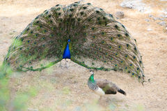 Free Peacock Stock Photos - 14279553