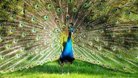 Peacock. Colorful 'Blue Ribbon' Peacock in full feather,Chateau Gardens Kromeriz Royalty Free Stock Photography