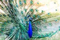 Free Peacock Stock Image - 144897431