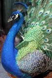 Peacock. Full of colors with feathers open