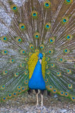 Peacock. A beautiful peacock with colorful feathers Stock Photo