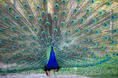 Peacock. A beautiful peacock with colorful feathers Stock Photography
