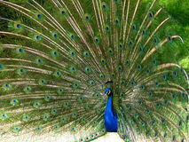 Peacock. Beautiful peacock with long feathers royalty free stock image