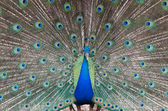 Peacock. Beautiful male peacock spread feather Stock Photography