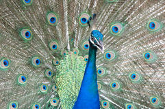 Peacock. Beautiful male peacock spread feather Stock Photo
