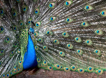 Peacock. Male Peacock Displaying Stock Photos