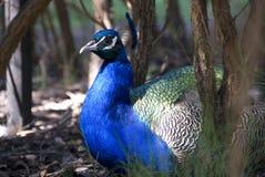 Peacock Stock Photography