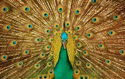 Free Peacock Stock Photography - 1665902