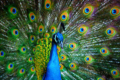 Peacock. A peacock showing off it's colors Stock Image