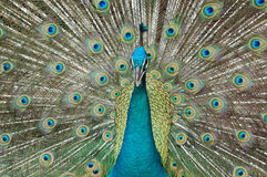 Peacock. Closed up of a peacock Royalty Free Stock Photos