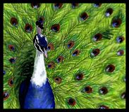 Peacock. An acrylic painting of a photo I took of a peacock at our local zoo Stock Photography