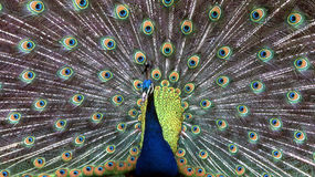 Peacock. Close up of a Peacock royalty free stock photography
