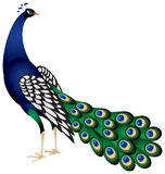 Peacock in  Stock Photography