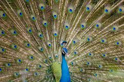 Peacock. A male peacock displays it's amazing tail feathers Stock Photography