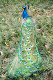 Peacock. With bright colorful feathers Stock Photo