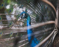Peacock. Seen among beautiful and colorful  feathers Stock Images