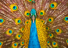 Peacock. Close up of a peacock with its tail spread stock photo