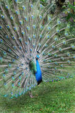 Peacock. Stock Photography