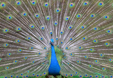 Free Peacock. Stock Images - 19983484