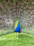 Peacock. 2 Στοκ εικόνα με δικαίωμα ελεύθερης χρήσης