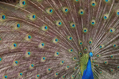 Peacock. A proud peacock on a farm Royalty Free Stock Photography