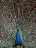Peacock. A beautiful peacock, location france Royalty Free Stock Photos