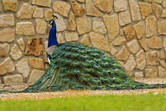 Peacock. Beautiful peacock in the park Royalty Free Stock Photo