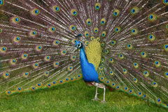 Peacock 21MP Stock Image