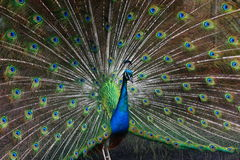 The Peacock Stock Photos