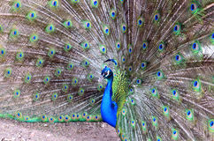 Peacock Stock Photography