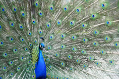 Peacock. Picture of the male peacock stock image