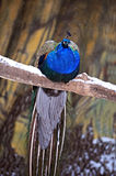 Peacock. Sitting on the branch of tree in winter Stock Photo