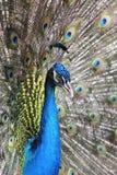 Peacock. Στοκ Εικόνες