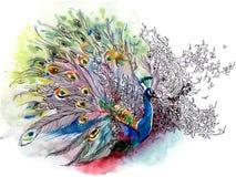 peacock Στοκ εικόνες με δικαίωμα ελεύθερης χρήσης