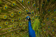 Peacock. With bright eye-spotted feathers Royalty Free Stock Images