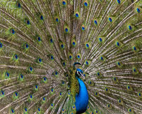 Peacock. Showing off its plumage Stock Photos