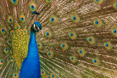 Peacock. Bright colorful peacock feathers background stock photography
