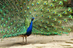 Peacock. Blue and green peacock tail Royalty Free Stock Photography