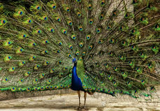 Peacock. Male peacock with blue and green tail Stock Photography