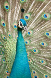 Peacock. Beautiful peacock feathers and colorful background royalty free stock photography