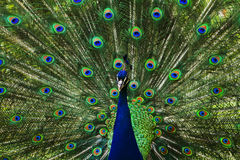Peacock. A beautiful peacock with colorful feathers royalty free stock photo