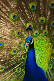 Peacock. A Peacock proudly displays his colorful plumage Royalty Free Stock Images