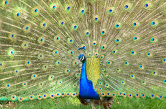 Peacock. A colorful peacock with his feathers on display Stock Images
