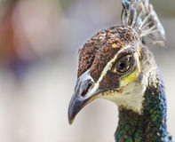 Peacock. Closeup of on a peacock stock photography