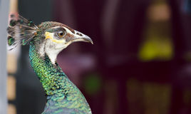 Peacock. Closeup of on a peacock stock photos