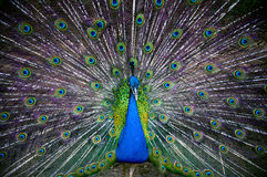 Peacock. Colorful Peacock in full feather Royalty Free Stock Images