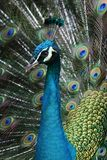 Peacock. Bird Royalty Free Stock Photo